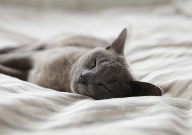 Russian blue cat napping