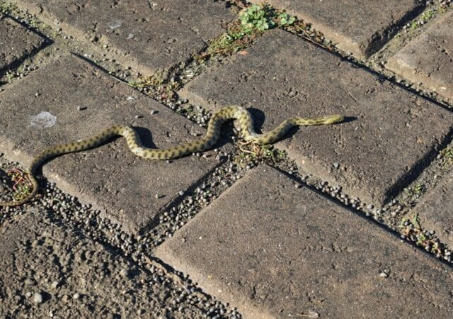 black and yellow snake on brick sidewalk.